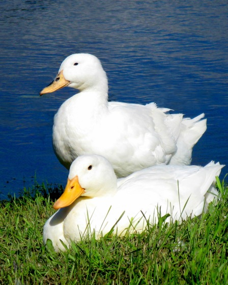 ducksjpg